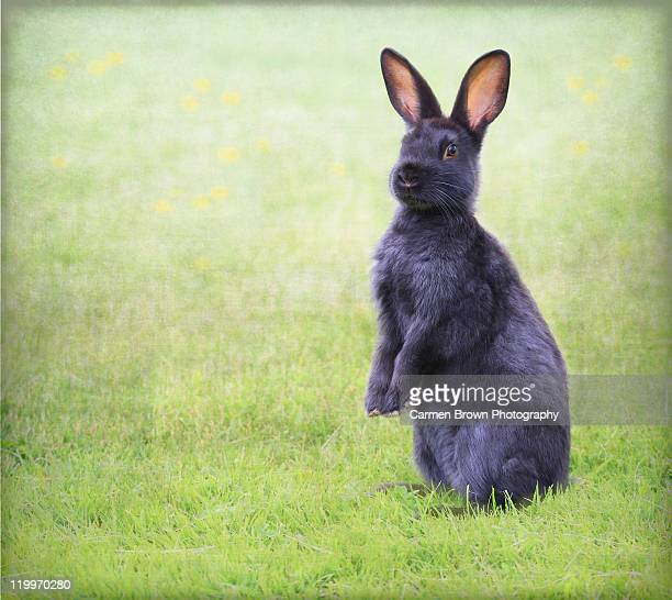 Black rabbit sitting on hind legs in grass