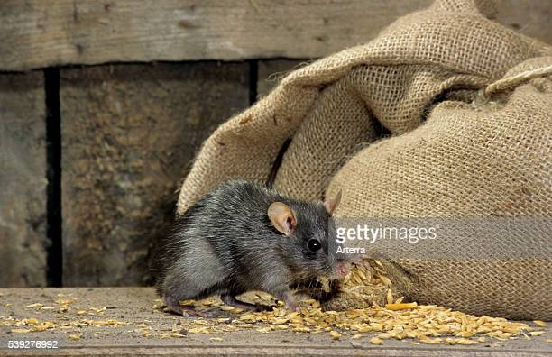 Black rat in barn feeding on corn from bag of cereals