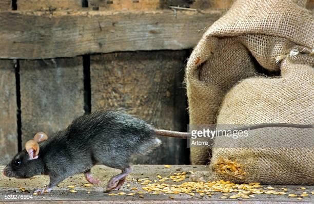 Black rat in barn running past bag of cereals at farm