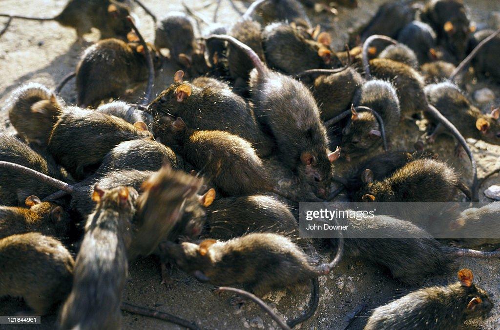 black rat : Stock Photo