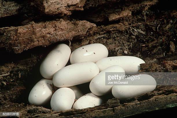 black rat snake eggs in hollow log - black rat snake stock pictures, royalty-free photos & images