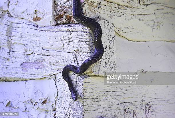 A black rat snake makes his way out of a spring house at a farm on May 26 2014 in Myersville Md