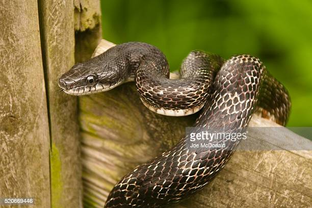 black rat snake on fence - black rat snake stock pictures, royalty-free photos & images