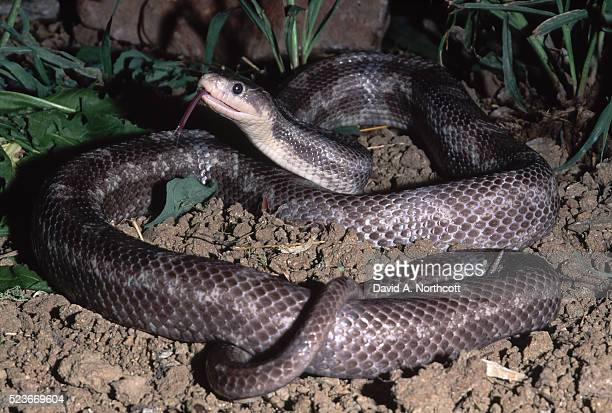 black rat snake - black rat snake stock pictures, royalty-free photos & images