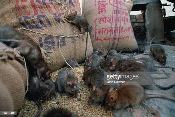 Black Rats (Rattus rattus)