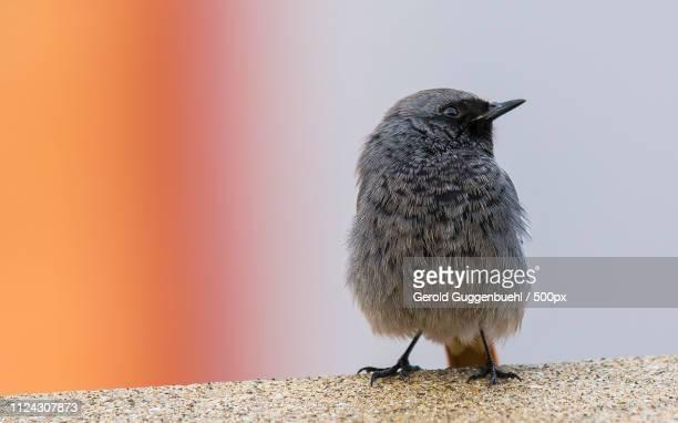 black redstart in close up - gerold guggenbuehl stock-fotos und bilder
