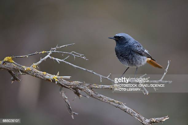 black redstart phoenicurus ochruros - photostock stock pictures, royalty-free photos & images