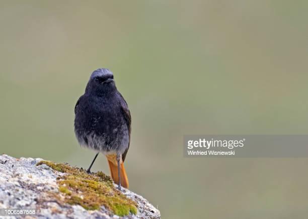 Black redstart  (Phoenicurus ochrurus)