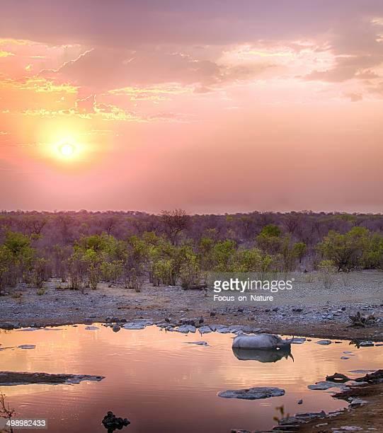 Black rhino at sunset, Namibia