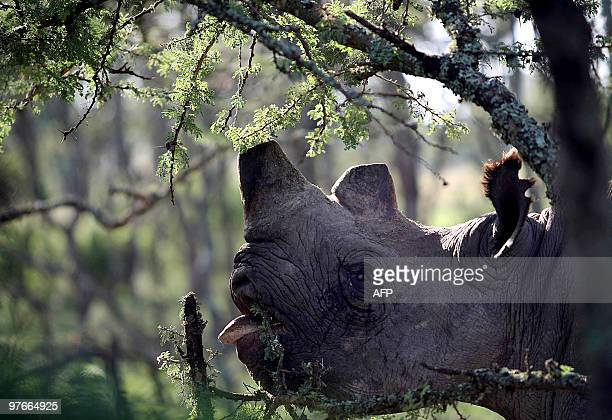 Black rhino Baraka [Swahili for blessing] blinded by disease feeds on a branch during Japan's Crown Prince his Imperial Higness Naruhito [not...