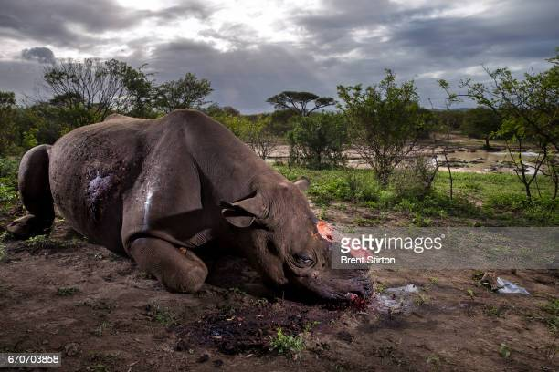 Black Rhino Bull is seen dead poached for its horns less than 24 hours earlier at Hluhluwe Umfolozi Game Reserve South Africa It is suspected that...