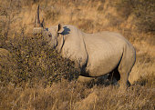 an endangered black rhinoceros cow feeding