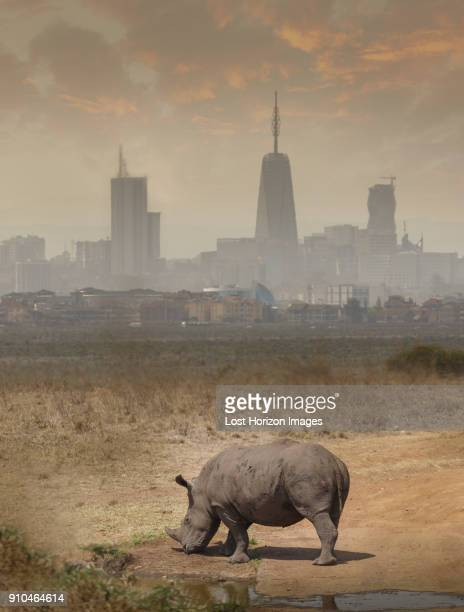 black rhino grazing, nairobi national park, nairobi, kenya, africa - nairobi stock pictures, royalty-free photos & images