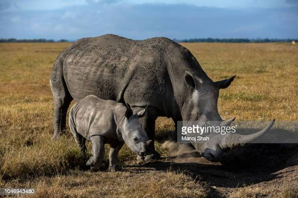 Black Rhino mother with baby