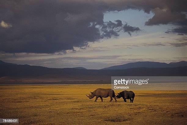 Black rhino , Ngorongoro Crater , Tanzania