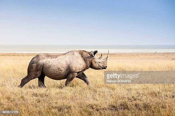 black rhino - namibia stock-fotos und bilder