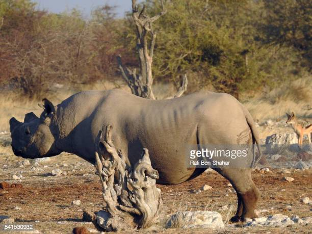 black rhino - snag tree stock pictures, royalty-free photos & images