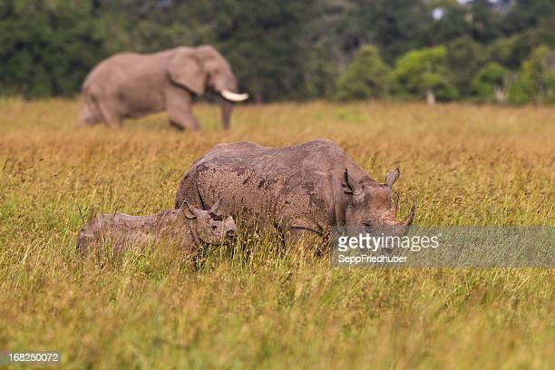 Black Rhinoceros and baby Elephant in background