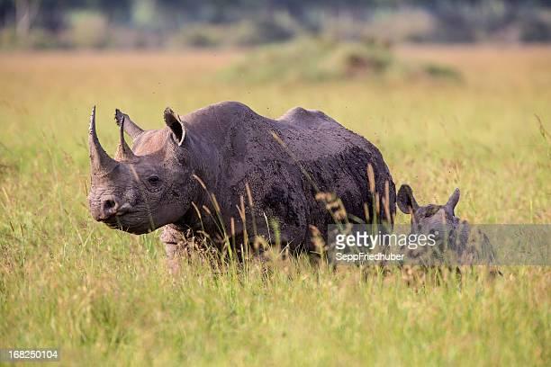 Black Rhinoceros and baby  walking in the savanna