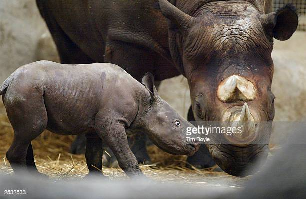 A black rhinoceros calf named Kianga stands next to his mother Shima at Brookfield Zoo September 24 2003 in Brookfield Illinois Following a 15month...