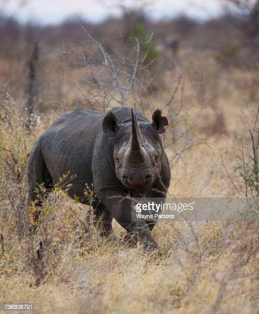 Black rhinoceros charging, hook-lipped rhinocero, Diceros bicornis, Madikwe Game Reserve, South Africa.