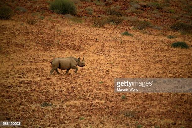 A black rhinoceros Damaraland Namibia