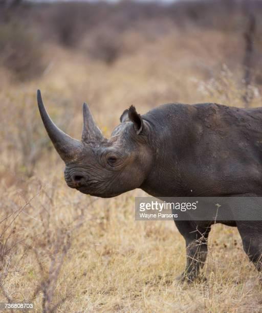 Black rhinoceros, hook-lipped rhinocero, Diceros bicornis, Madikwe Game Reserve, South Africa.