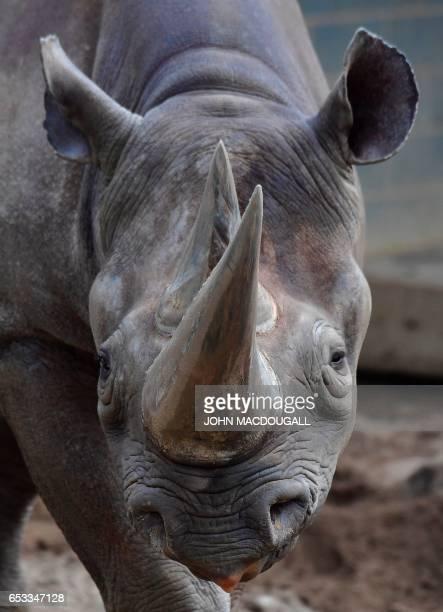 A Black Rhinoceros is seen in its enclosure at Berlin's Zoologischer garten zoo on March 14 2017 / AFP PHOTO / John MACDOUGALL