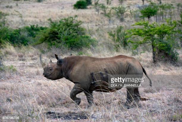 Black rhinoceros Nairobi national park Kenya