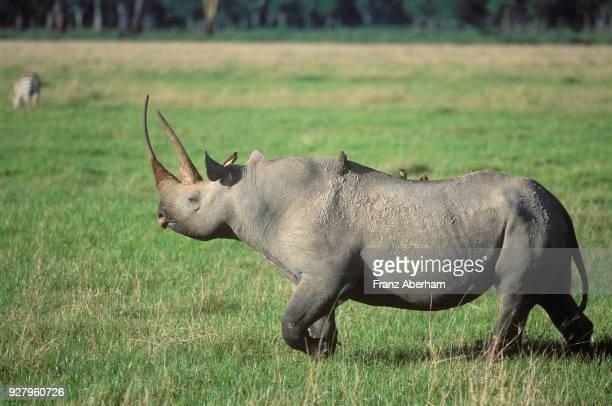 black rhinoceros, ngorongoro crater, tanzania - franz aberham stock photos and pictures