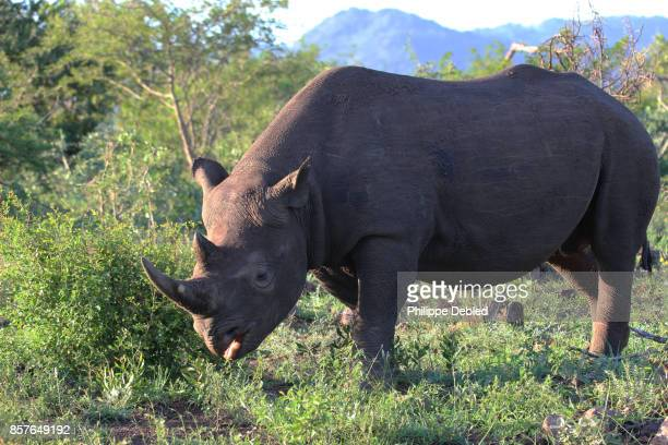 Black Rhinoceros (Diceros Bicornis) on field