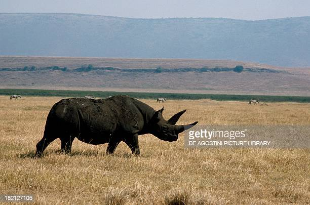 Black rhinoceros or hooklipped rhinoceros Rhinocerotidae Africa