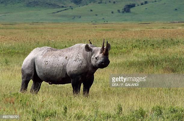 Black rhinoceros or hook-lipped rhinoceros , Rhinocerotidae, Ngorongoro Conservation Area, Tanzania.