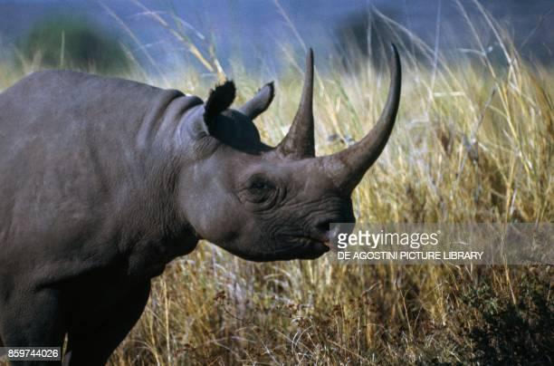 Black rhinoceros Rhinocerotidae