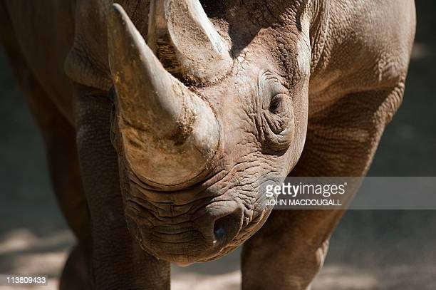 A black rhinoceros stands in its enclosure at Berlin's zoologischer garten zoo as temperatures rose to a summerly 20 degrees centigrade in the German...