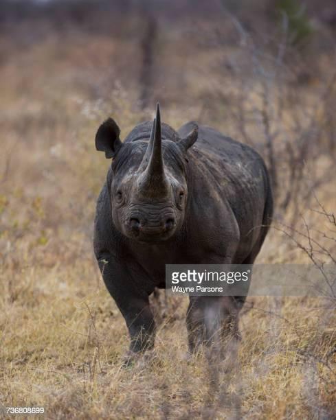 Black rhinoceros stare down, hook-lipped rhinocero, Diceros bicornis, Madikwe Game Reserve, South Africa.