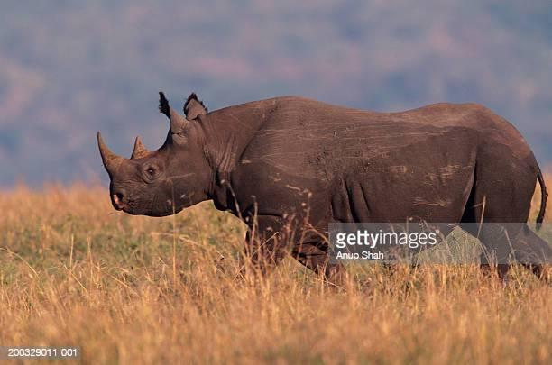 Black rhinoceros (Ceratotherium simum) walking on savannah, Kenya