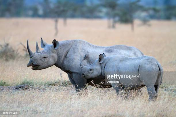 Black Rhinoceros with young one, Sweetwaters, Kenya