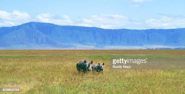 black rhinocerous - ngorongoro conservation area stock pictures, royalty-free photos & images