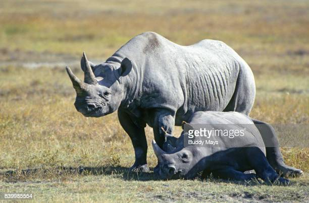 black rhinocerous - east stock pictures, royalty-free photos & images