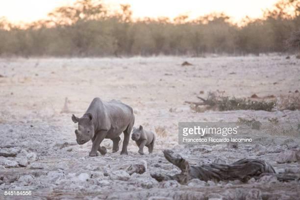 Black Rhinos at Etosha, Namibia