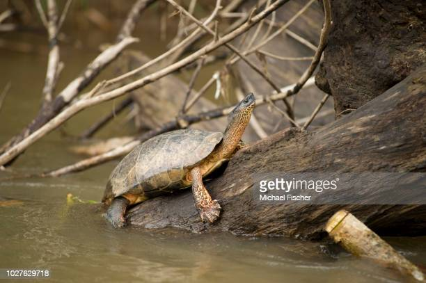 black river turtle or black wood turtle (rhinoclemmys funerea), costa rica, central america - {{asset.href}} stock pictures, royalty-free photos & images