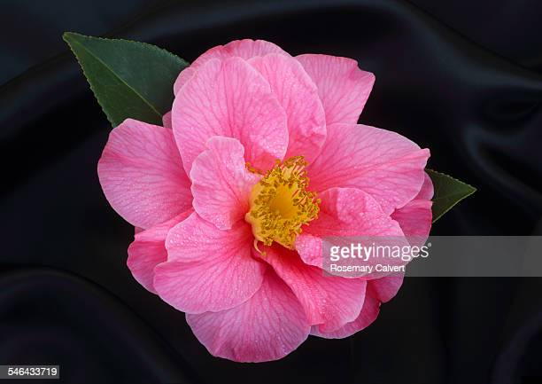 Black satin with bright pink camellia.