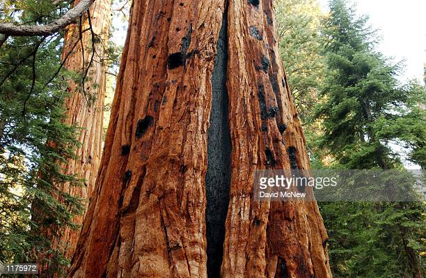 Black scars of longago fires can still be seen on the trunks of giant sequoia trees along the Trail of the 100 Giants July 25 2002 in the Sequoia...