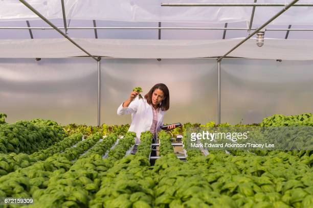 Black scientist examining green basil plant in greenhouse