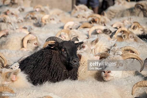 black sheep among white sheep, flock of sheep near kirkjubaejarklaustur, southern iceland, iceland, europe - 羊の群 ストックフォトと画像