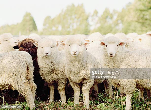 black sheep amongst herd of white sheep - mammifero foto e immagini stock