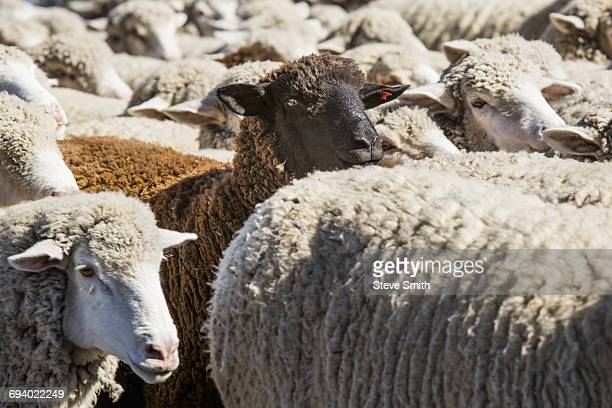 black sheep in herd of white sheep - sun valley idaho stock photos and pictures