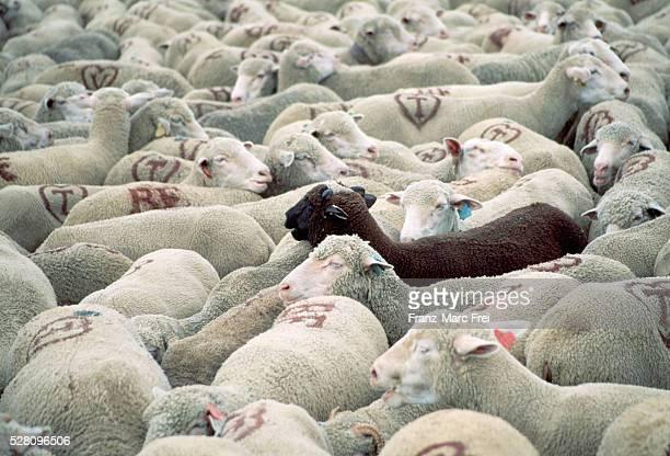 black sheep in white flock - individualité photos et images de collection