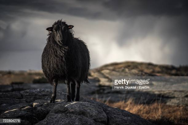 black sheep looking at camera - northern europe stock pictures, royalty-free photos & images